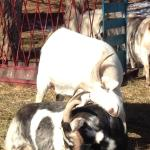 Goats in Love!