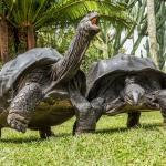 En Pro de la únicas pareja   de tortugas gigantes adulta de la Seychelles en Latino America