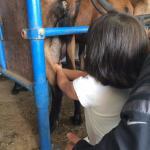 Tirando leite da cabra
