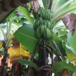 View of bannana tree from room
