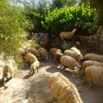 Total tranquility with bells on a herd of sheep. Crete is a very safe place in 3 week tour no ev