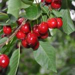 premium cherry orchard