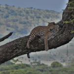 Jaguar at Serengeti NP