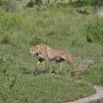 Cheeta at Serengeti NP