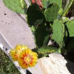 Flowering cactus- used in breakfasts!