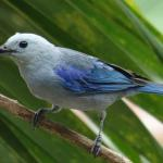 Regular balcony visitor - blue tanager