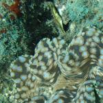 Snorkeling...giant clam