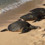 Giant turtles ashore, costal Maui