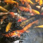 Get koi food from restaurant