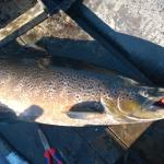 Salmonfishing