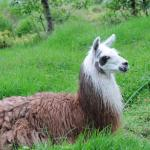 One of the llamas resident on the property