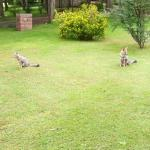Visitantes diarios (zorros grises mansos como perros)