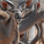 Shikwari Wildlife - Kudu