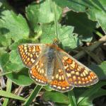 Marsh Fritallary butterfly