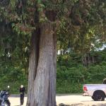 Big old tree that is right beside The Beach Hut, Qualicum Beach, BC