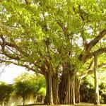 Nuga Tree
