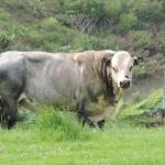 Norfolk Blue bull