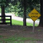 Caution Alpacas