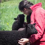 A guest visits with our Gotland lambs.