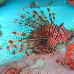 große, schöne Rotfeuerfische