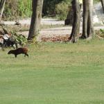 Puerto Aventuras, México, Club de Golf y Racquet. Sereque pastando.