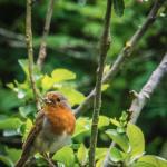 Resident friendly robin amongst the apple blossom