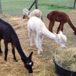 By the Bay Alpaca Farm