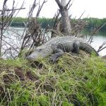 gator on Nest