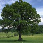Auf einer Wanderung um Bodenmais, kurz vor dem Joschkawerk steht dieser fantastische Baum. Grand