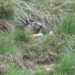 Marmotta nella tana