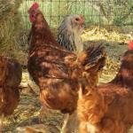 Chicken friends.