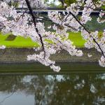 櫻花盛開的熊本城