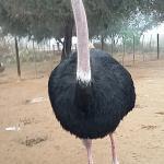 Safari Ostrich Show Farm Foto