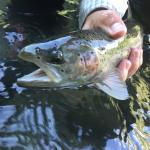 Beatiful Rainbow Trout. First hit of the day around 11:15am. Good size and great fight!
