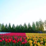 世羅高原は標高が500mと平野部より高く涼しいため、4月下旬からゴールデンウィークにかけてチューリップの見頃が訪れます。