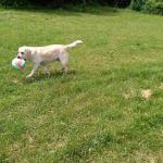 Luna il labrador dell'agriturismo