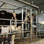 Milk cow