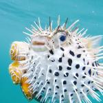 The puffer fish Joel found & made sure everyone saw!