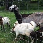 Owners goats