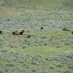 buffalo grazing on the prairie -- you can get up close and personal