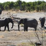 Bull elephants at the waterhole behind the lodge