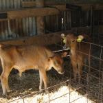 Newborn Calves in the barn during Fall Fest