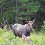 One of our nine moose spotted this trip.