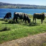 Found lots of cows along the Burg & Fossil Tree trail