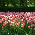 Pink tulips in the garden