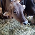 Bell cow of chokolate color