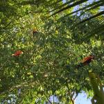 Macaws in the Trees