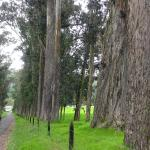 The road to Zuleta lined with magnificent ancient trees