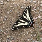 Butterfly on the trail. Flew right up and landed at my feet