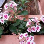 Blomstring rundt terassen - Geranium